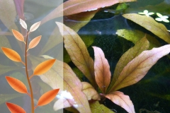Eisenmangel an Papageienblatt