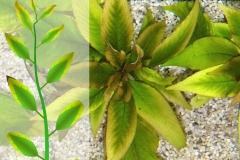 Kalziummangel an Hygrophila