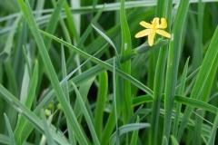 Gelbe Binsenlilie Sisyrinchium angustifolium