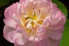 Lotus mit gefüllter Blüte