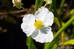 Blüte von Sagittaria sagittifolia