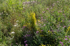 Wildblumen am Emsufer 2019