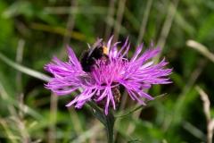 Distelhummel auf Wiesen-Flockenblume