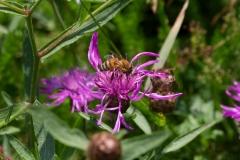 Honigbiene auf Wiesenflockenblume