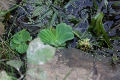 Muschelblume und Vallisnerien am Ufer der Erft