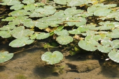 Teichrose in der Lippe