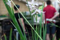 Sumpf-Gladiole mit weißen Blüten