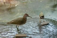 Bruchwasserläufer und Flussregenpfeifer in der Ausstellung